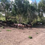 Horse peru